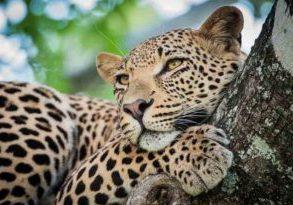 Leopard spotting at SabiSabi