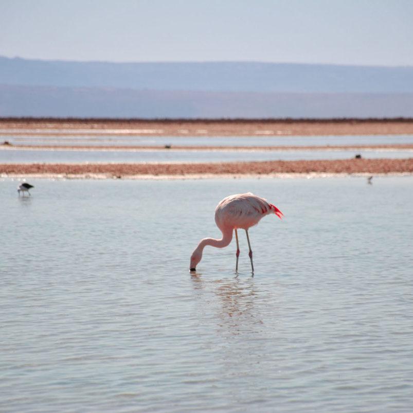 Salar de Atacama where three species of flamingo thrive on little pink shrimps wriggling in the brine.